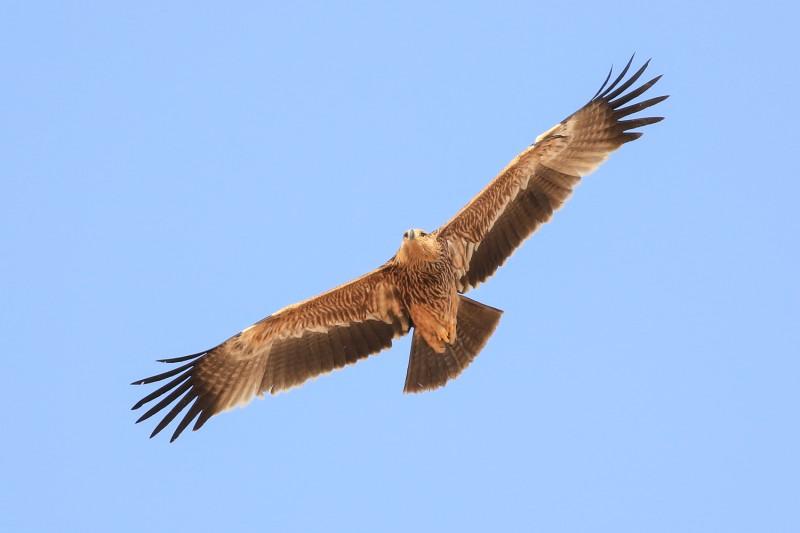 Eastern imperial eagle ©Arie Kolders