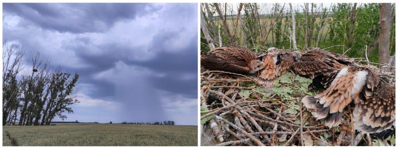 The nest from afar and from real close (Photoy: Márton Horváth, BirdLife Hungary).